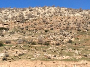 Fertile crescent hillside after 8,000 years of human intervention - note sheep still there